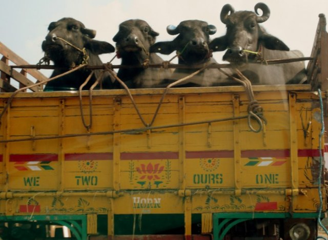 Water buffalo being transported in India