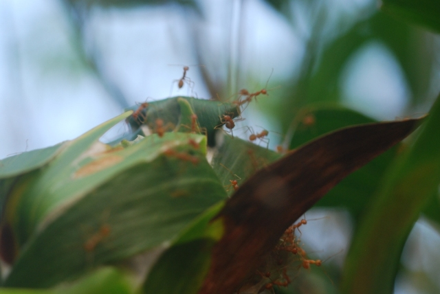 Agitated weaver ants alerted by our presence