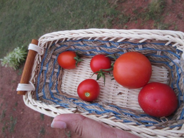 Freshly picked tomatoes