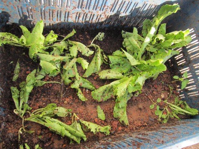 Lettuce in aAugust
