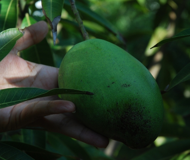 Mango in December
