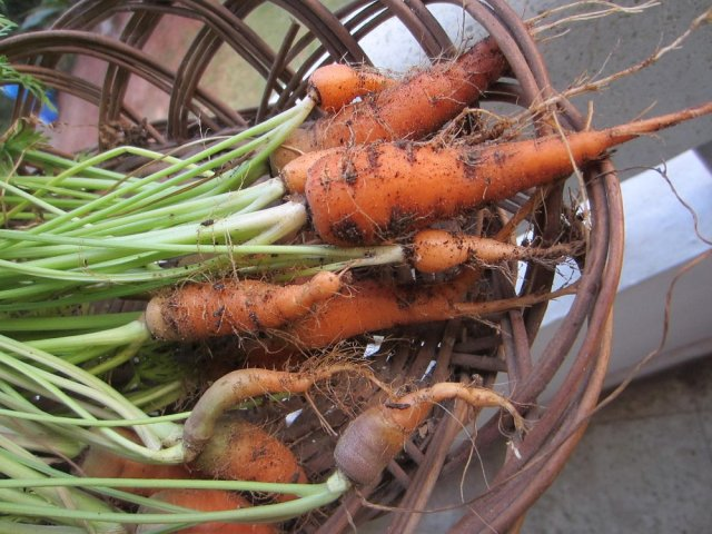 Carrot harvest dec 2013